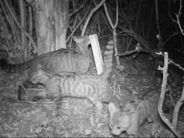 Eine Wildkatzenfamilie bei Kasel