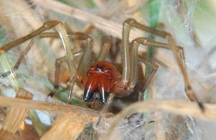 Eine Nahaufnahme einer Spinne mit ihren vielen Beinchen und einem roten Kopf - eine Ammendornspinne.