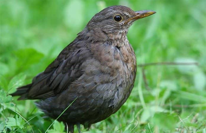 Ein Amselweibchen im Gras als Symbolbild für den Beitrag zum Vogelsterben.