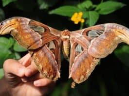 Schmetterling - Atlasspinner