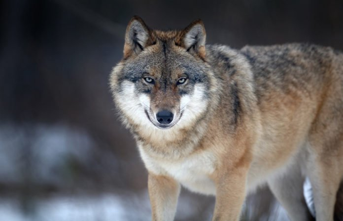 Ein Wolf mit gespitzten Ohren.