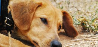 Hund liegt traurig