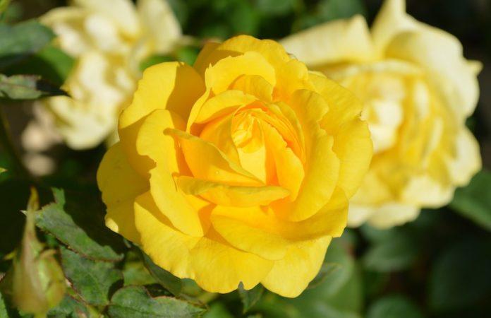 Gelbe Rosenbluete
