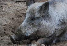 Wildschwein im Dreck