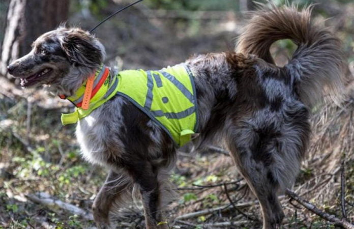 Kadaver-Spürhund