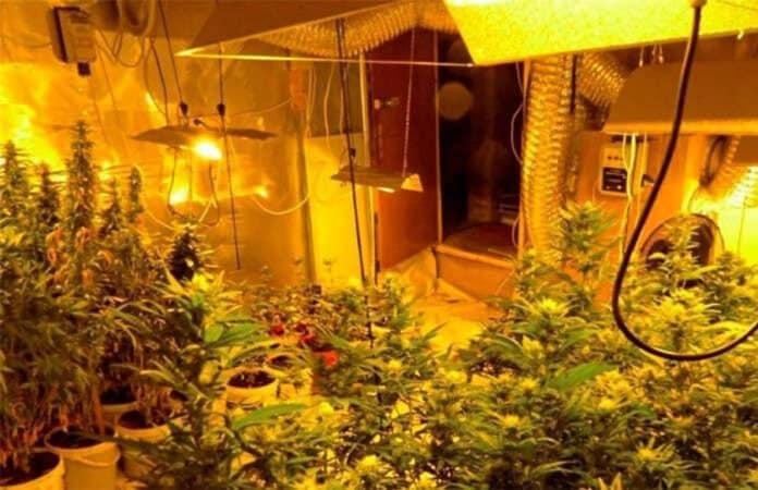 Eine Cannabis-Indoorplantage